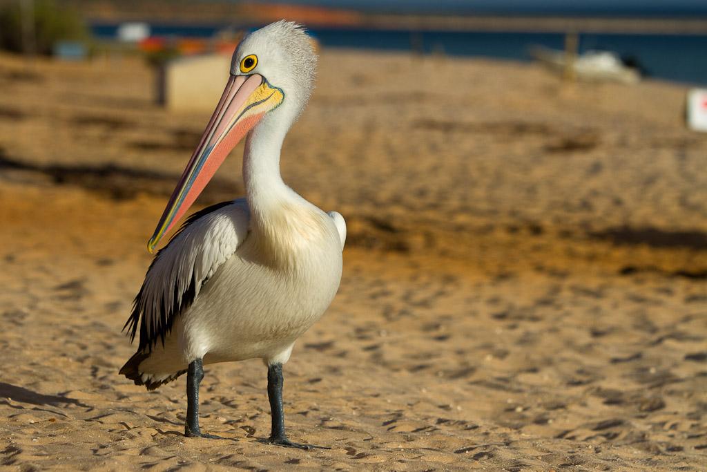 A Pelican on the beach of the Monkey Mia resort in Western Australia.