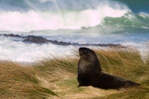 A sea lion that was bathing in the warm sun at Waipapa point.