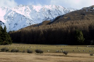 Sheep and snowy mountains.