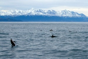 Some of the gigantic pod of dolphins we had the privilege to swim with.
