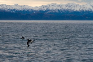 Encounter Dolphins in Kaikoura.
