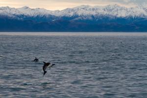 Encounter Dolphins in Kaikoura.