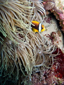 Some more Anemone Fish