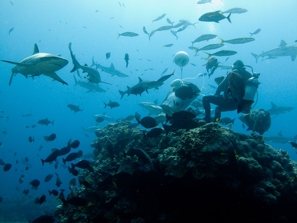 A shark dive in the Coral Sea at the Great Barrier Reef in Australia