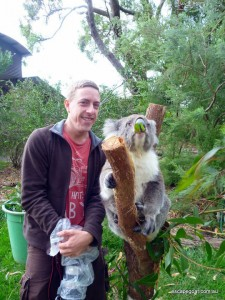 """This Koala was named """"Teddy"""" and was totally cool with pictures as long as he had some food to chew on.  The wild koalas we saw on the way down seemed much more curious about us (at least the ones that were awake)."""