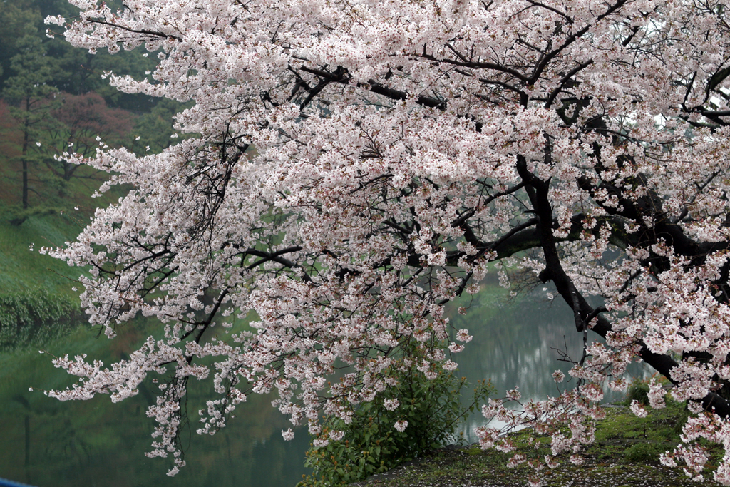 A cherry blossom (aka Sakura) tree along the moat at the Imperial Palace in Tokyo.