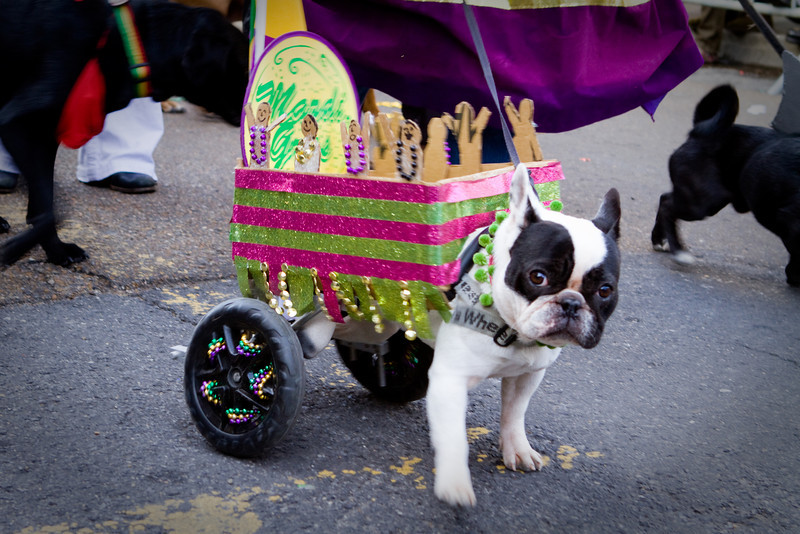An injured dog is transformed into a mock Mardi Gras float.