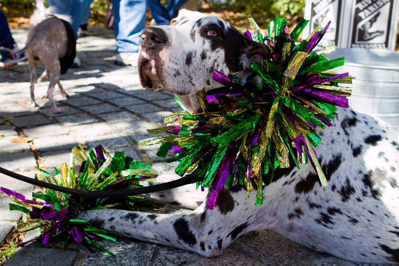 """The """"Krewe of Barkus"""" is the only Mardi Gras parade centered around dogs and donates all of its proceeds to local shelters."""